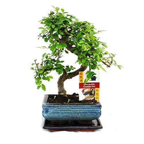 s f rmiger ulmen bonsai 15cm 1 baum rasenm her test 2017. Black Bedroom Furniture Sets. Home Design Ideas