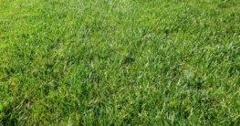 Wann Rasenmähen nach Düngen